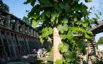 Bacchusstunde auf dem Winzerberg in Potsdam zwischen Weinranken.