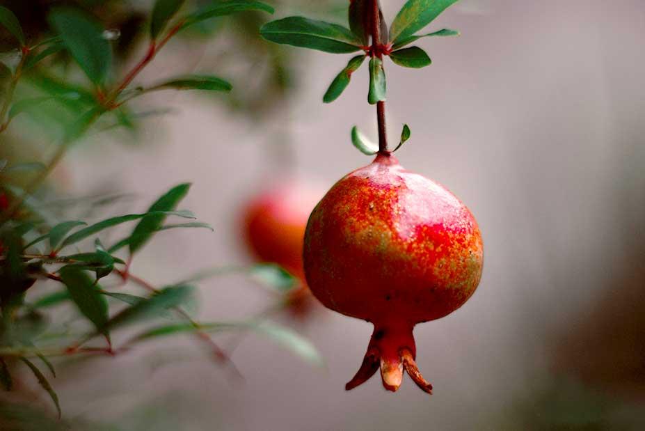 Über den Granatapfel