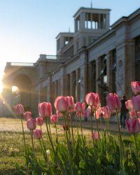 Die untergehende Sonne scheint durch den Torbogen an der Orangerie auf die Tulpen