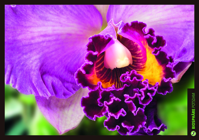 Cattleya - Die Königin der Orchideen in der Biosphäre Potsdam