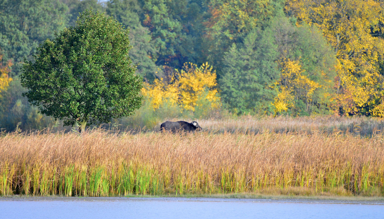 Wasserbüffel, Foto: Stiftung NaturSchutzFonds Brandenburg/Kai Heinemann